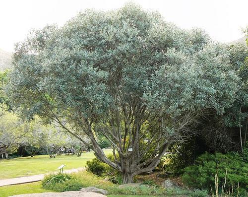 evergreen olea europaea ssp africana wild olive. Black Bedroom Furniture Sets. Home Design Ideas